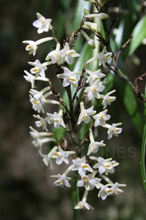 Easter Orchid