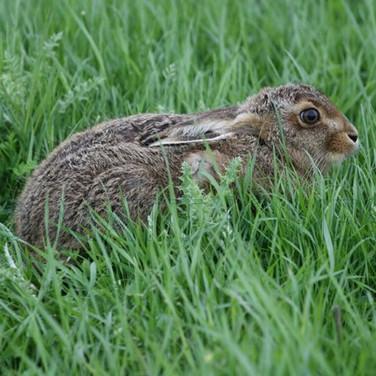 European Hare (Leveret)