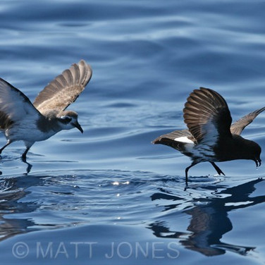 New Zealand & White-faced Storm-petrels