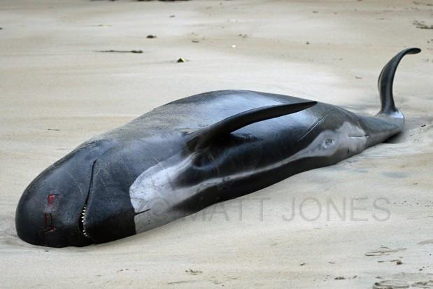Sad stranding of Pilot Whale at Little River