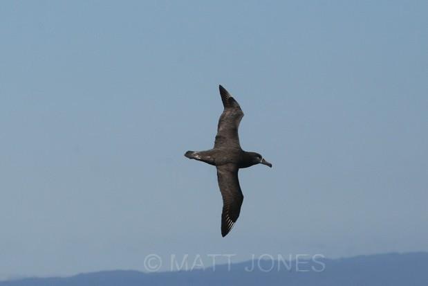 Black-footed Albatross, Phoebastria nigripes