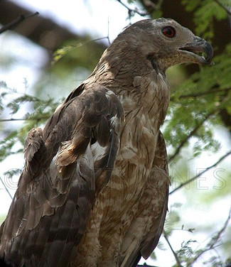 Oriental Honey-Buzzard (deformed lower mandible)