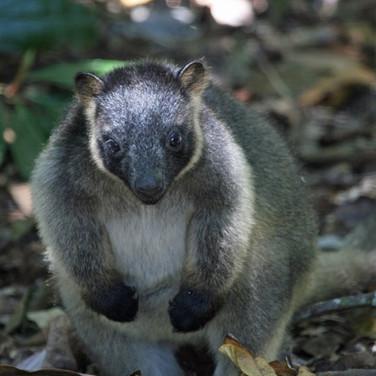 Lumhoitz's Tree Kangaroo