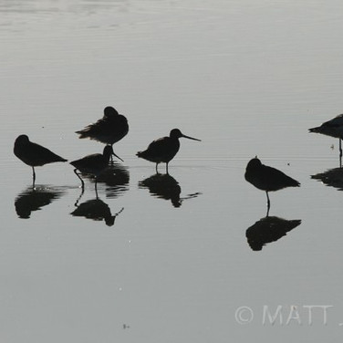 Black-tailed Godwits & Pied Avocet
