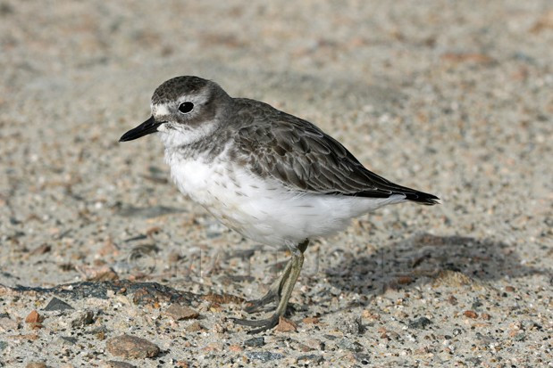 New Zealand Dotterel (Southern) in winter plumage (Charadrius obscurus obscurus)