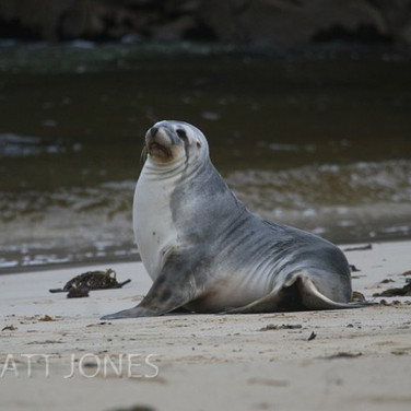 New Zealand Sealion - female