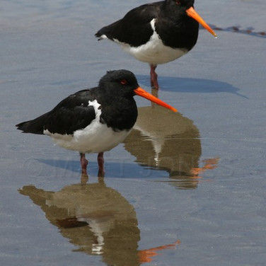 South Island Pied Oystercatchers