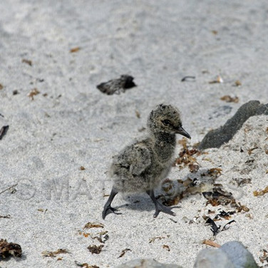 Variable Oystercatcher chick