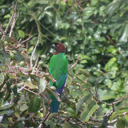 Red Shining-Parrot