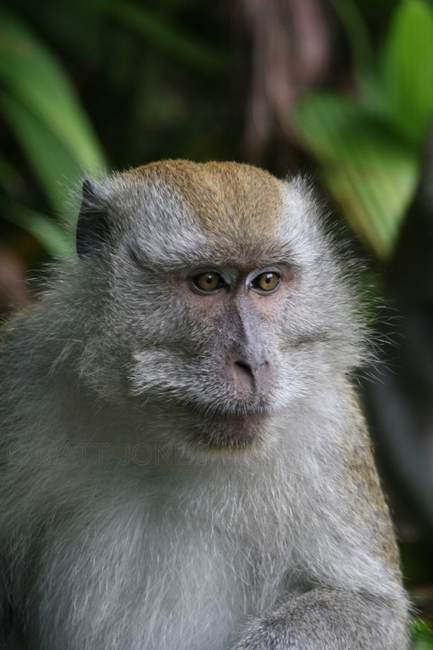 Long-tailed Macaque in Singapore