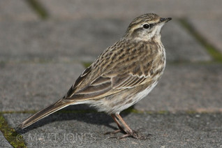 New Zealand Pipit