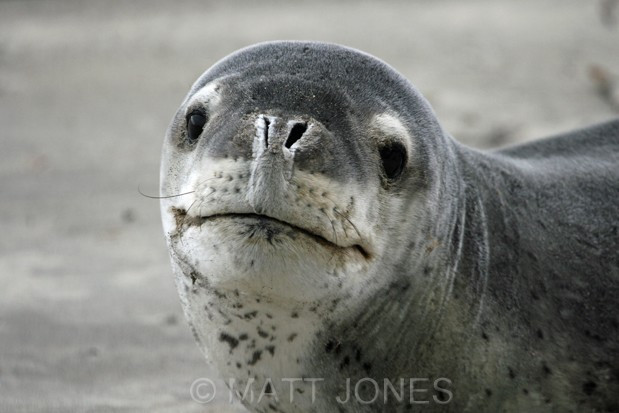 The smiling assassin - a Leopard Seal at Stewart Island