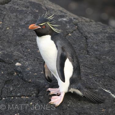 Eastern Rockhopper Penguin