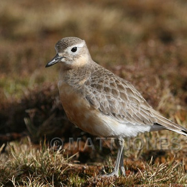 New Zealand Dotterel (Southern)