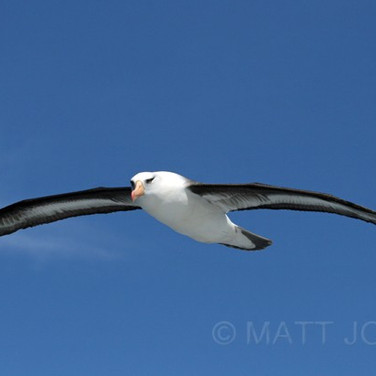 Campbell Island Albatross