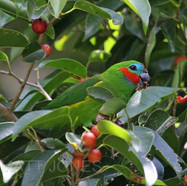Double-Eyed Fig-Parrot