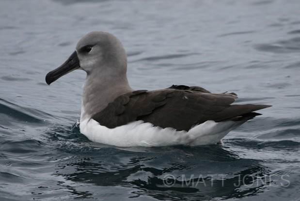 Grey-headed Albatross, Stewart Island - a rare bird for this area
