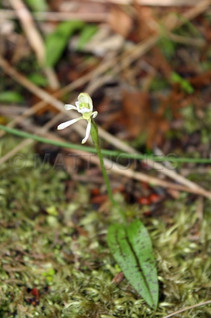 Odd-leafed Orchid