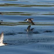 Fluttering Shearwaters
