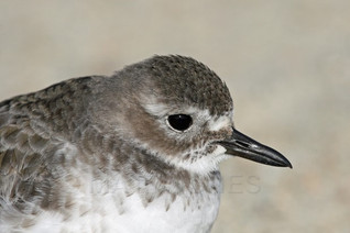 New Zealand Dotterel (Southern) winter plumage