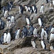 Snares Crested Penguins