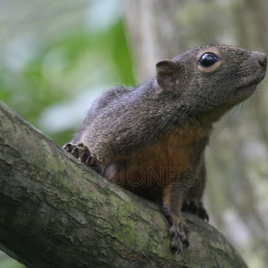 Plantian Squirrel