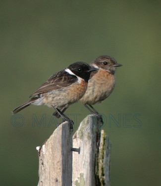 Common Stonechats