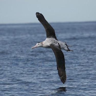 Wandering Antipodean Albatross