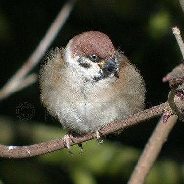 Eurasian Tree Sparrow
