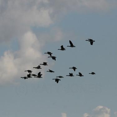 Greylag & Canada Geese