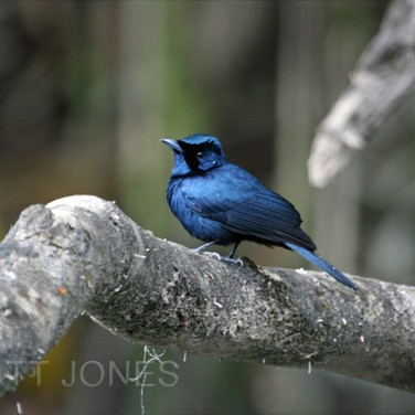 Shining Flycatcher (male)