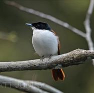 Shining Flycatcher (female)
