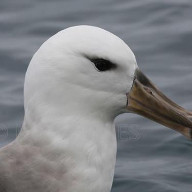 Black-browed Albatross (immature)