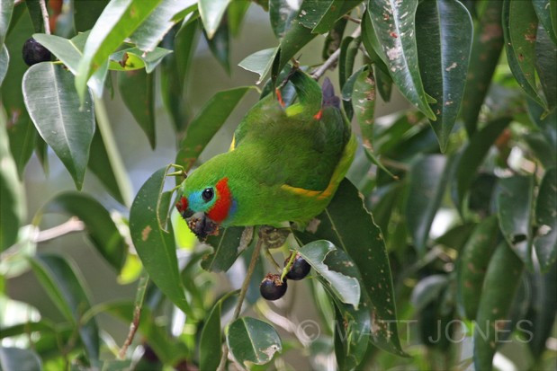 Double-eyed Fig-Parrot, Australia