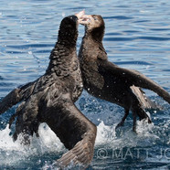 Fighting Northern Giant Petrels