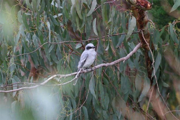 An immature Black-faced Cuckoo-shrike (Coracina novaehollandiae) only the second record for Stewart Island