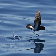 New Zealand Storm-petrel