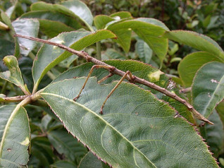 Common Brown Stick Insect