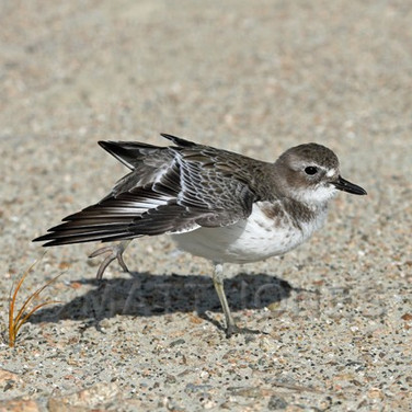 New Zealand Dotterel (Southern) winter plumage