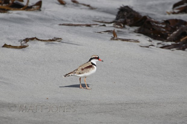 Black-fronted Dotterel - a first for Stewart Island