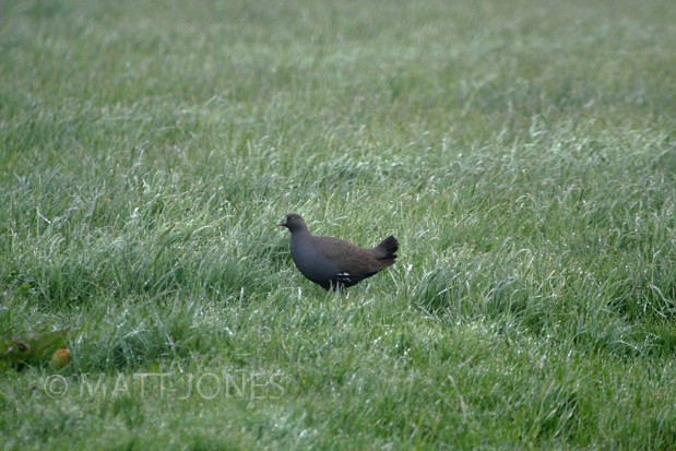 Black-tailed Native Hen ... a New Zealand tick!