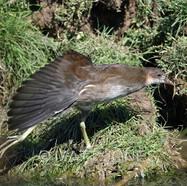 Common Moorhen (juvenile)