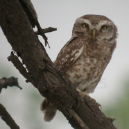 Young Spotted Owlet