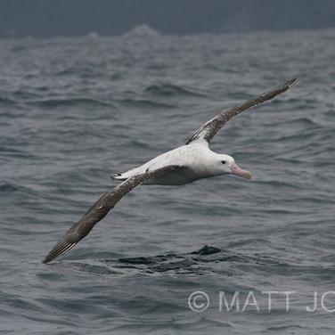 Wandering Gibson's Albatross