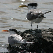 Lesser Crested Tern (left) & Great Crested Tern (right)