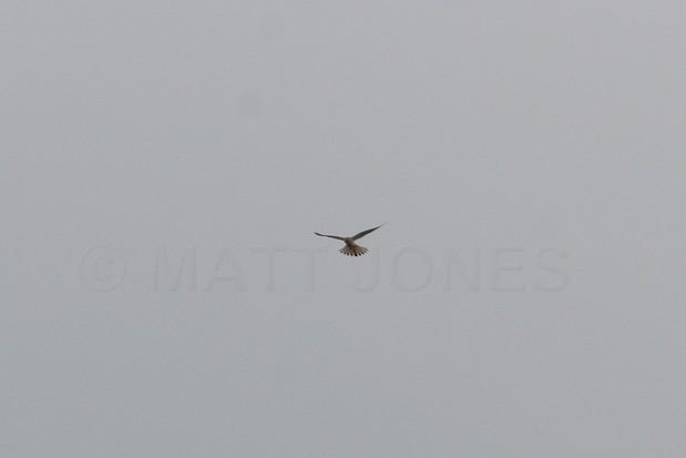 Nankeen Kestrel (record shot) Falco cenchroides