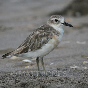 New Zealand Dotterel (Northern)