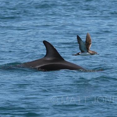 Dusky Dolphin & Fluttering Shearwater