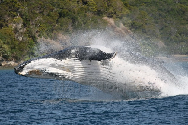 Humpback Whale breaching at Prony, New Caledonia