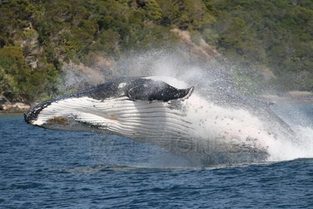 Humpback Whale breaching at Prony, New Caledonia